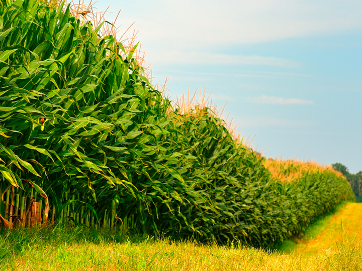 Ten things you should know about corn