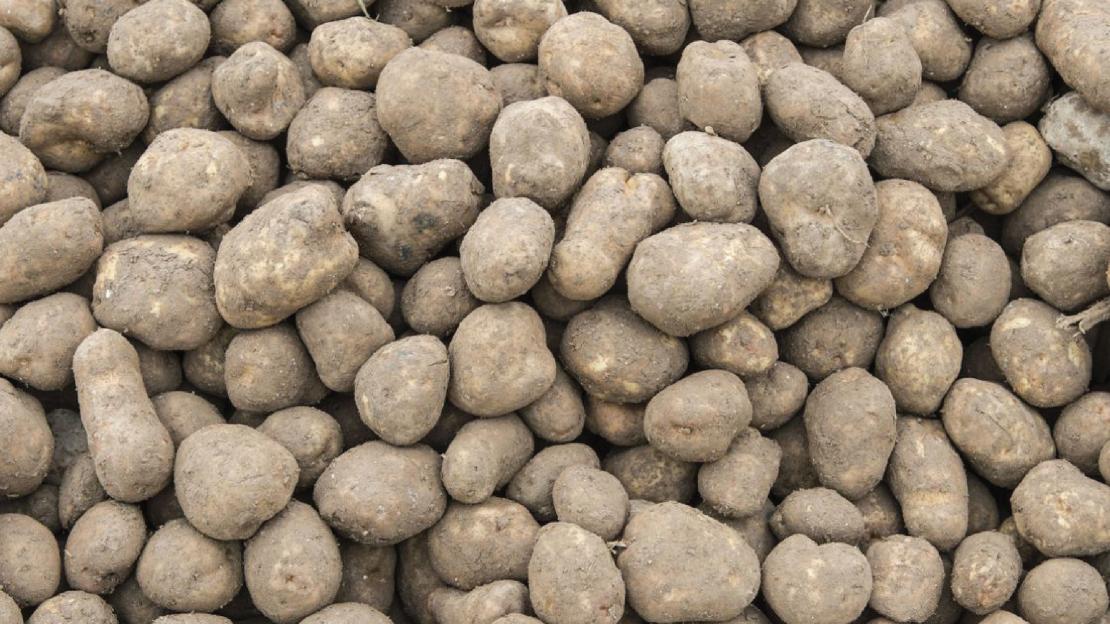 batatas-03